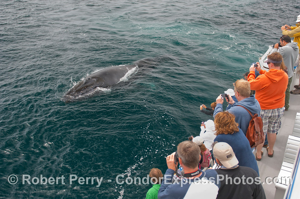 A very friendly Humpback Whale comes in for a close up look at the whalers on board the Condor Express.