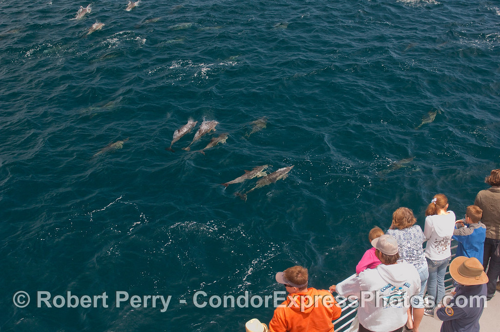 Whalers get a close look at part of the megapod of Common Dolphins.