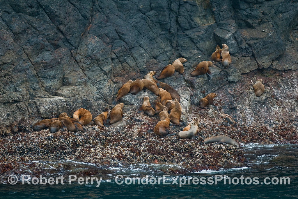 California Sea Lions (Zalopus californianus) hauled out on the rocks at Santa Cruz Island.