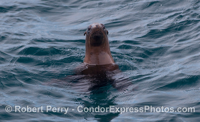 A California Sea Lion (Zalopus californianus) takes a good look at the camera.
