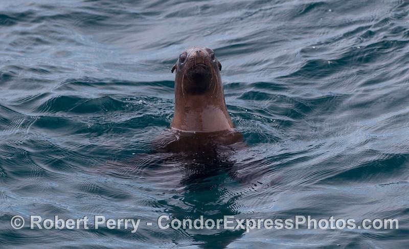 A California Sea Lion (Zalopus californianus) takes a good look at the camera.