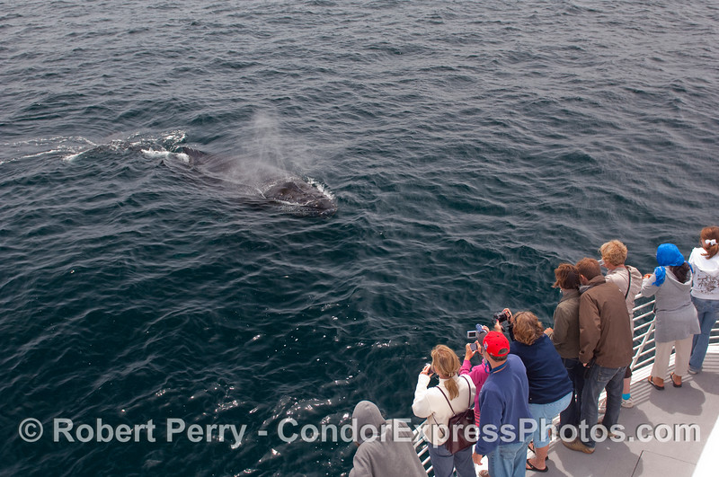 Another friendly Humpback heads directly for the Condor Express.