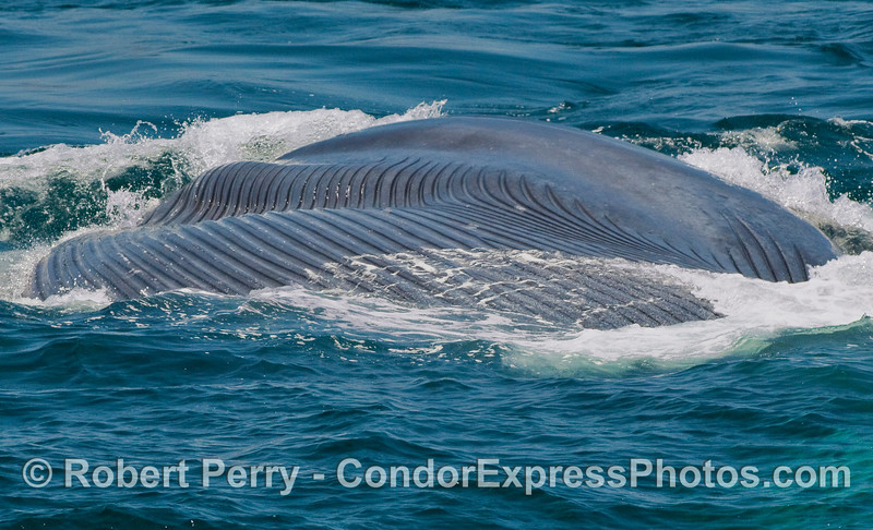 After the lunge the Blue Whale lays in its side, ventral grooves fully expanded to make a huge gullar pouch full of water and krill.  We are looking from the back of the whale towards the head.