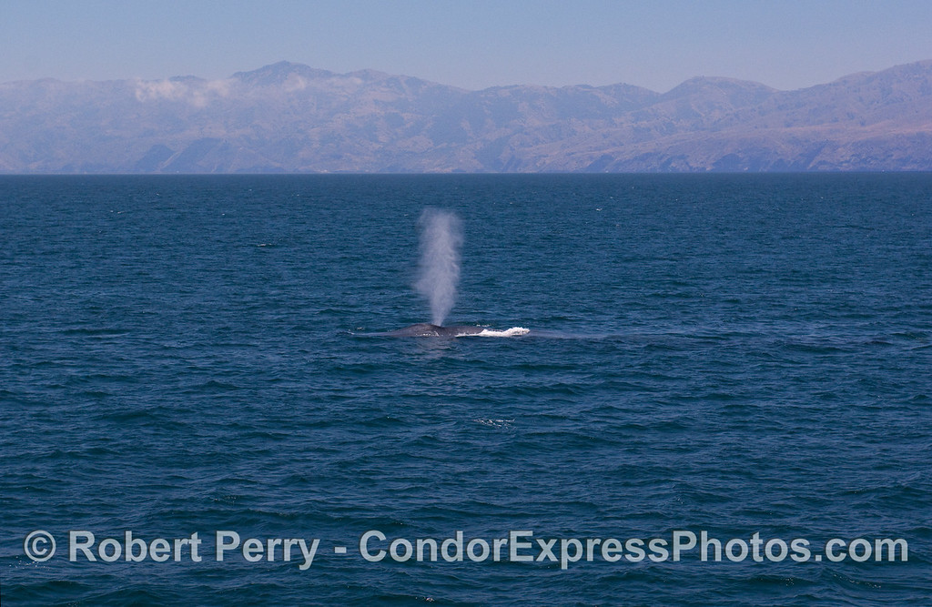 A Blue Whale spouts with Santa Cruz Island in the back.