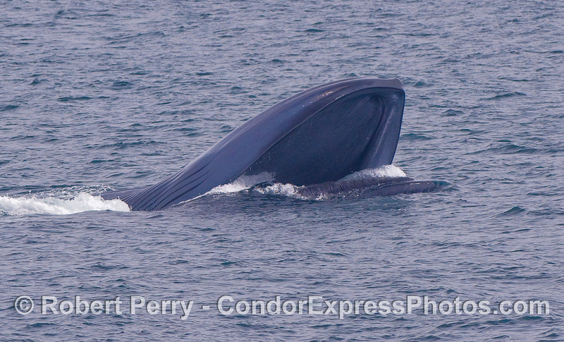 Surface lunge feeding Blue Whale.  The beast is upside down and the mouth is open.  We are looking into the greatly distended ventral pouch and lower jaw.  Baleen plates can be seen aiming upward from the upper jaw.