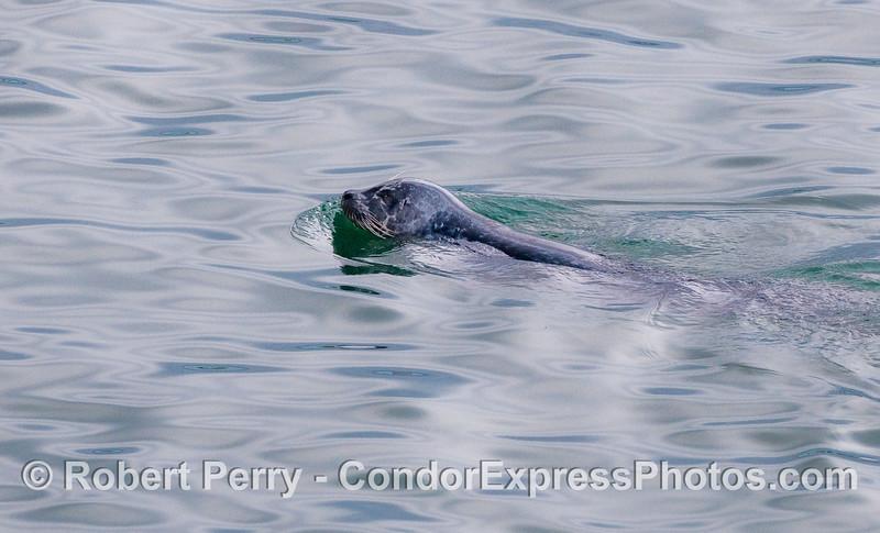 A Pacific Harbor Seal (Phoca vitulina).