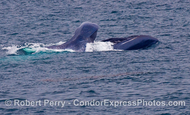 Image 1 of 3: sequence of images showing a surface lunge feeding Blue Whale.