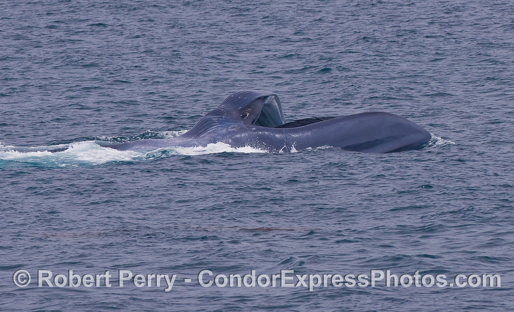 Image 3 of 3: sequence of images showing a surface lunge feeding Blue Whale.