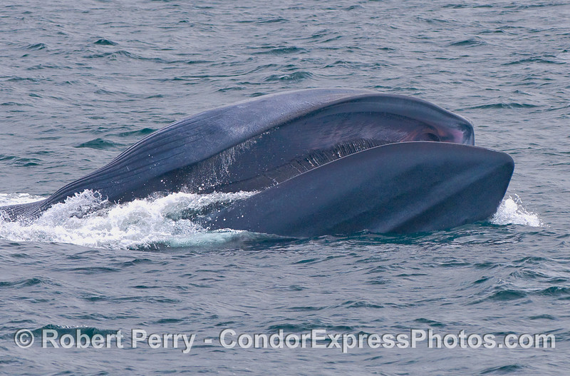Surface lunge feeding Blue Whale.