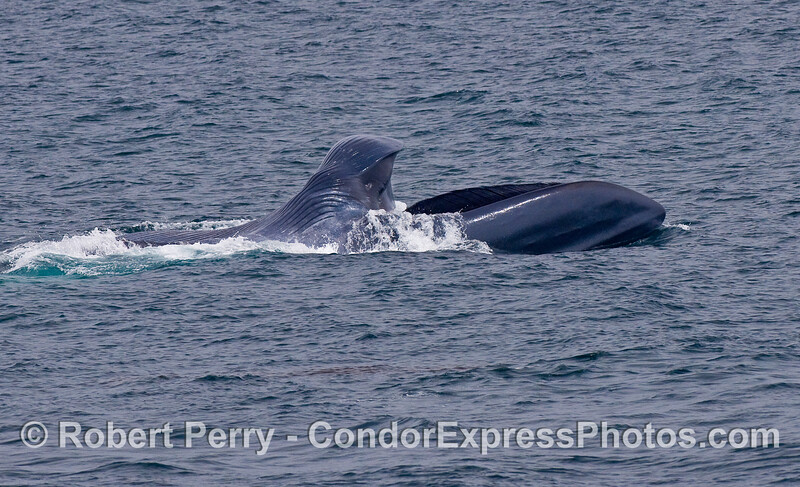 Image 2 of 3: sequence of images showing a surface lunge feeding Blue Whale.