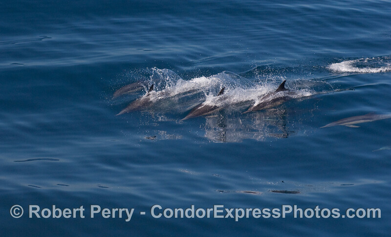 Common Dolphins.