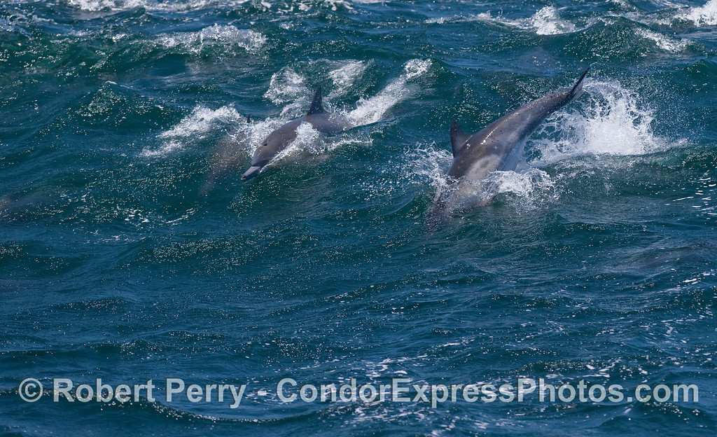 Common Dolphins riding a big wave...