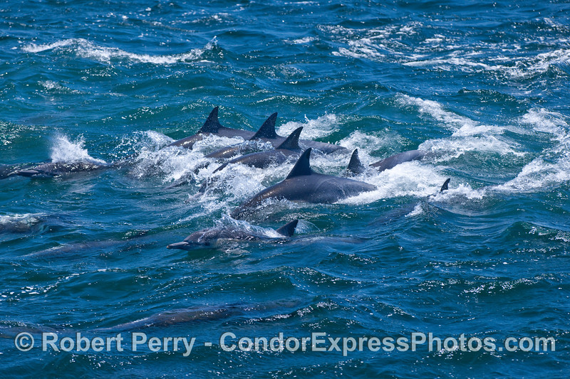 A cluster of Common Dolphins.