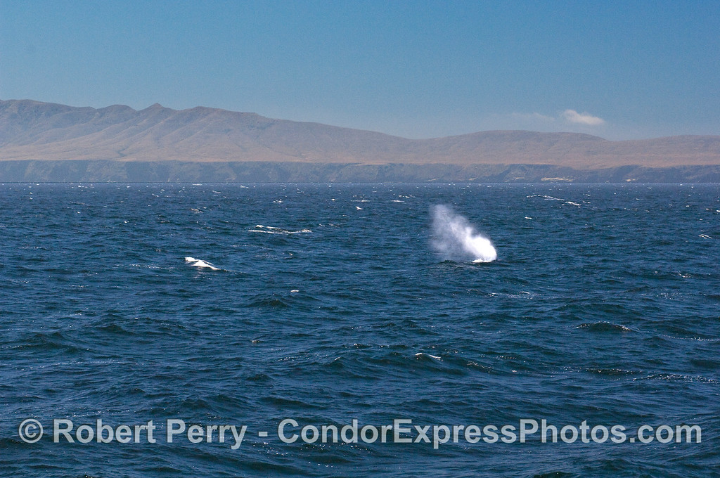 Tall Blue Whale spout with Santa Cruz Island in back.