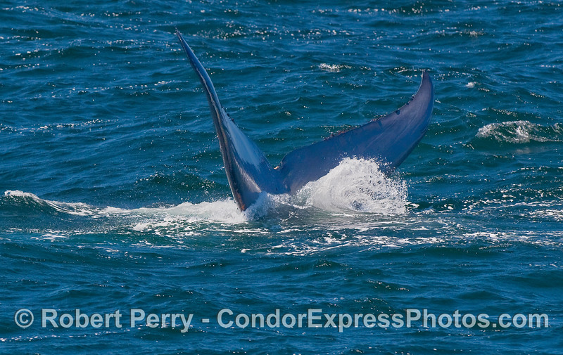 Image 3 of 3:  tail flukes of a Blue Whale.