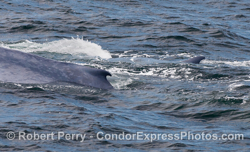 Twin dorsal fins -- Mother and her calf - Blue Whales.
