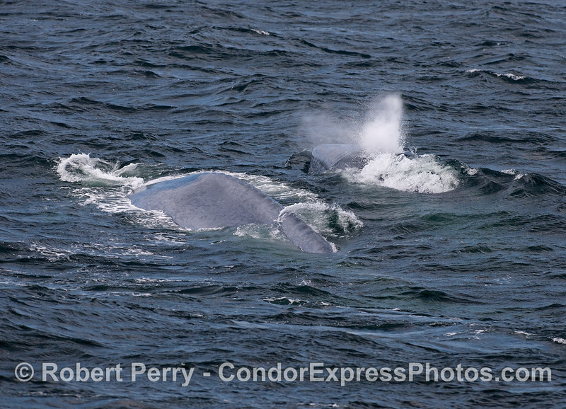 Mother and her calf - Blue Whales.