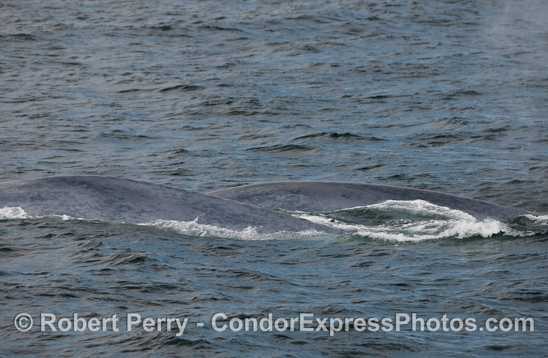 Two blue backs - Mother and her calf - Blue Whales.