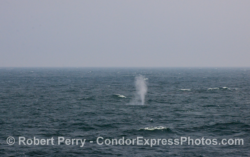 First glimpse of a Blue Whale at a distance, across choppy seas.