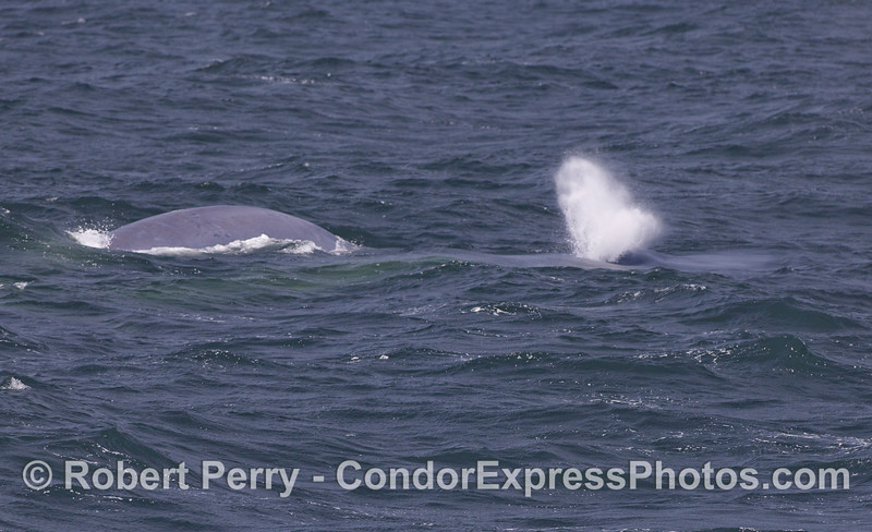 Blue Whale Mother and her calf.