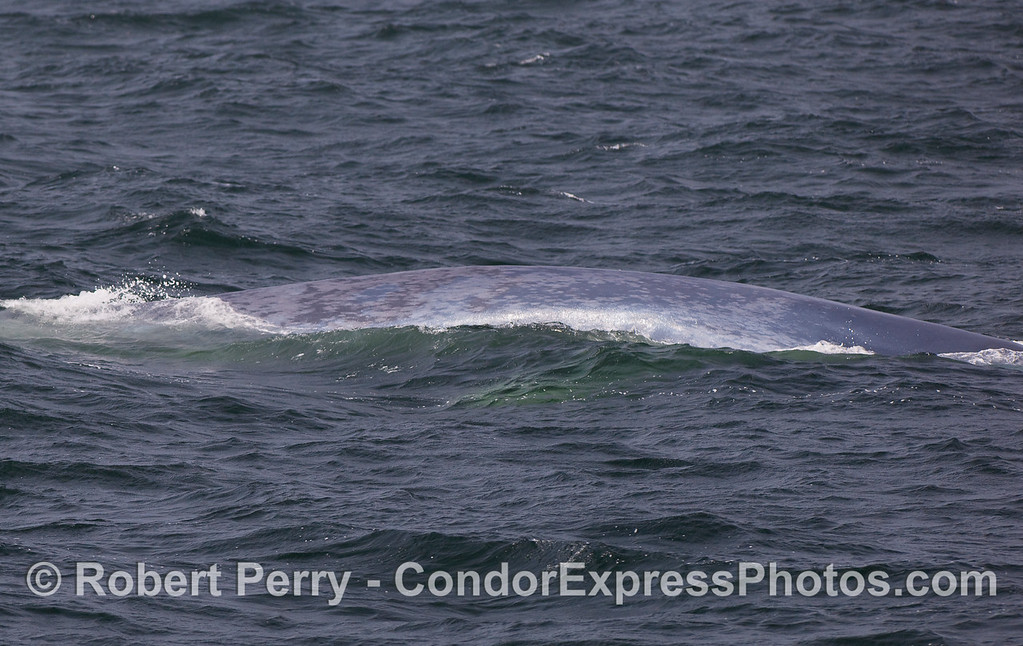 Mottled grey flanks of a Blue Whale.