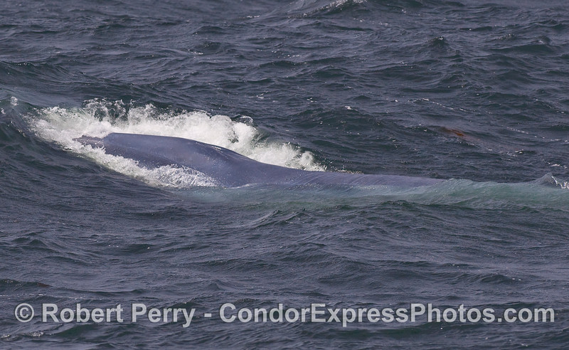 A Blue Whale busts through on coming waves.