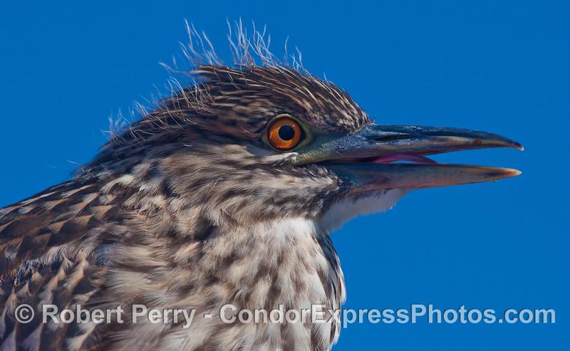 At the dock in Santa Barbara Harbor, a juvenile Black-crowned Night Heron (Nycticorax nycticorax) sticks its tongue out.