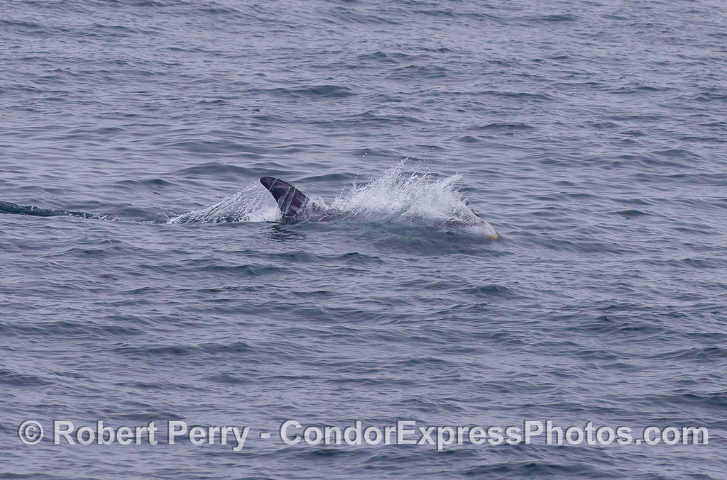 A racing Risso's Dolphin.