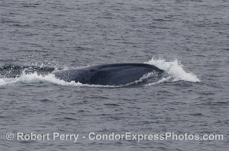 Playful Blue Whale calf rolling over next to its mother (under the surface).  The entire outline of the mouth, ventral grooves and eye can be seen.