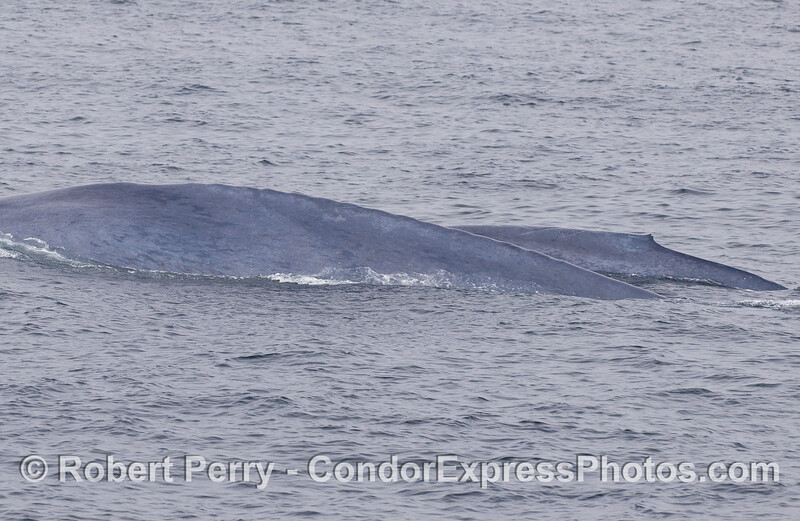Mother Blue Whale and her calf.