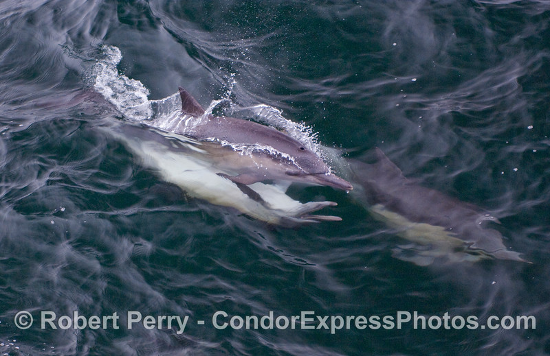 Common Dolphins mating...the male is on the bottom with its mouth open.