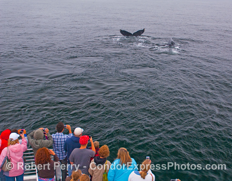 Whalers on the Condor Express again get great looks at two Humpbacks.