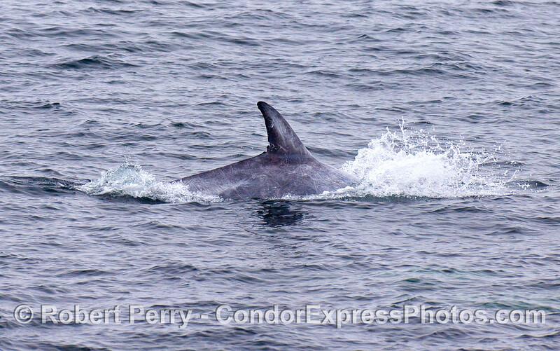 Risso's Dolphin dorsal fin.