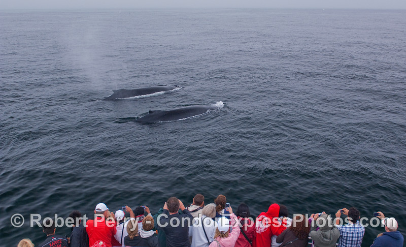 The whalers on board the Condor Express get a friendly visit by two Humpback Whales.