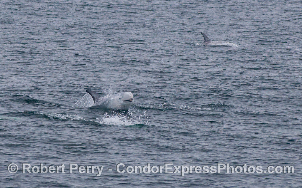 A Risso's Dolphin seems to smile as it leaps.