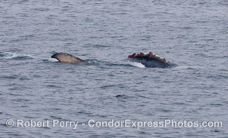 Young Humpback rolling around next to its mother (now under the surface).