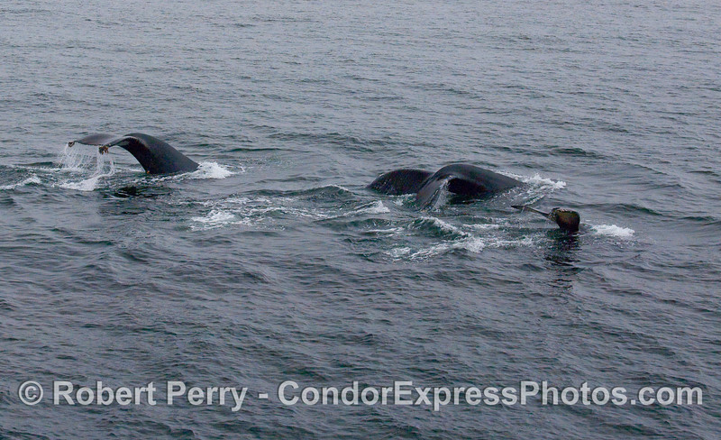 Three tail flukes in a row -- Humpbacks.