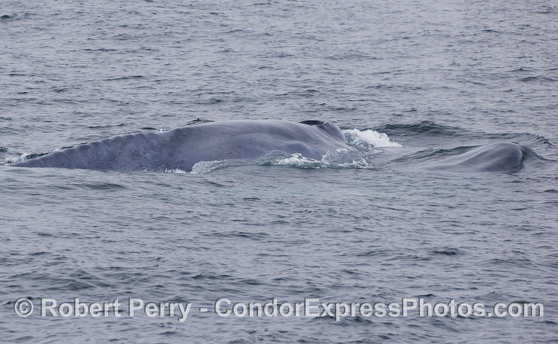 A mother Blue Whale and her calf.