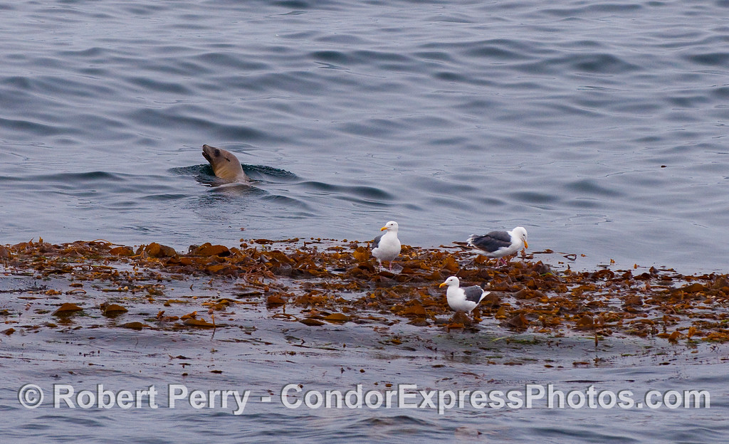 Three Western Gulls (Larus occidentalis) and a California Sea Lion (Zalophus californianus) hang out near a Giant Kelp (Macrocystis pyrifera) paddy.