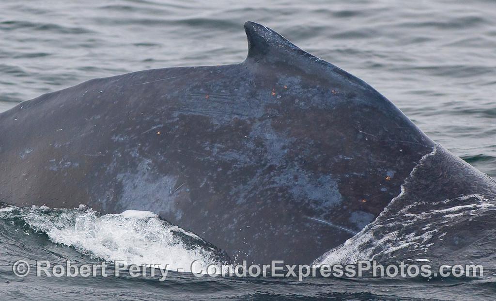 Humpback dorsal fin.