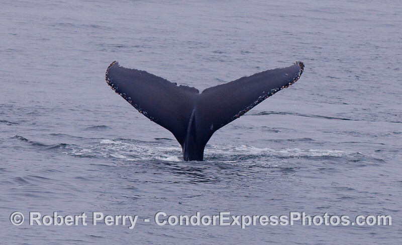 Humpback tail....going down.