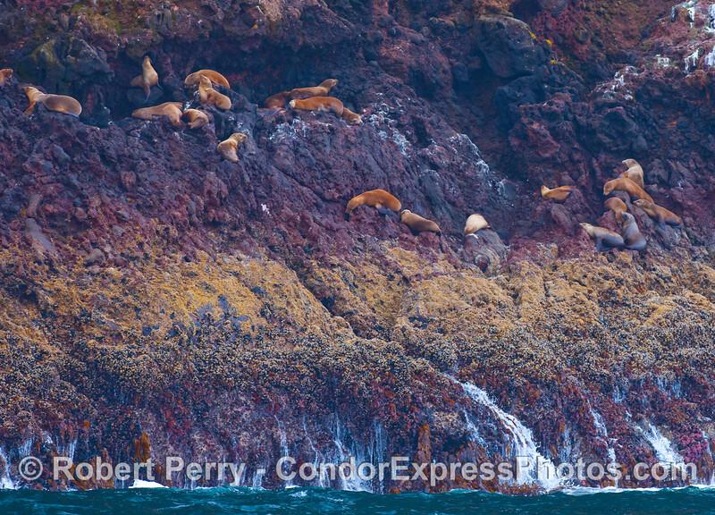 High and dry.  California Sea Lions way up above the water line at Santa Cruz Island.