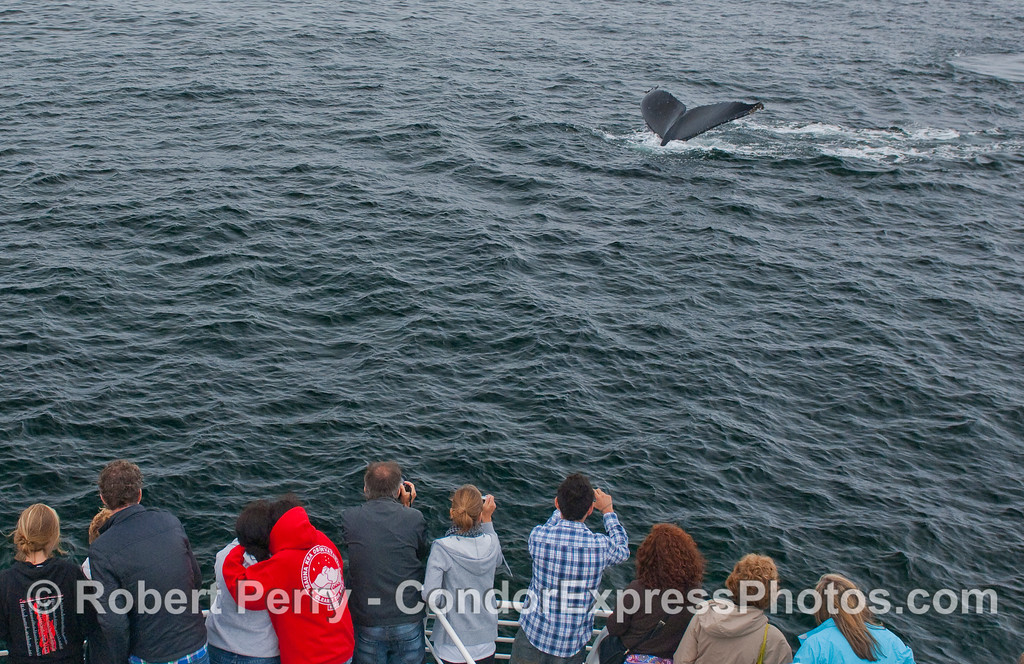 Whalers get a close look at Humpback tail flukes.