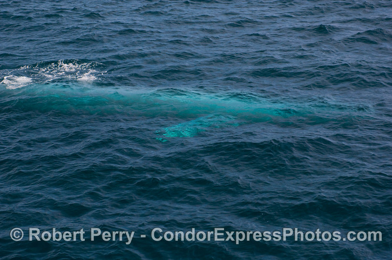 Juvenile Blue Whale swims just under the surface...lookin' mighty blue!