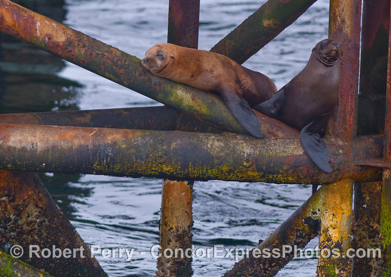 California Sea Lions (Zalophus californianus) at work - Platform Holly.