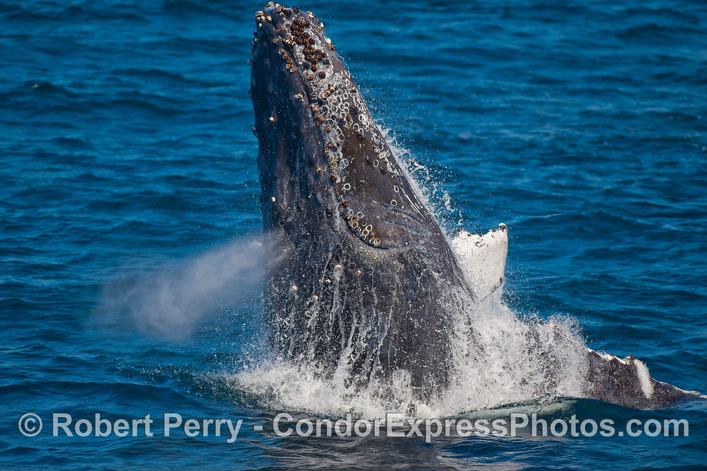 "A multi-tasking Humpback Whale does a ""half breach"" while spouting."