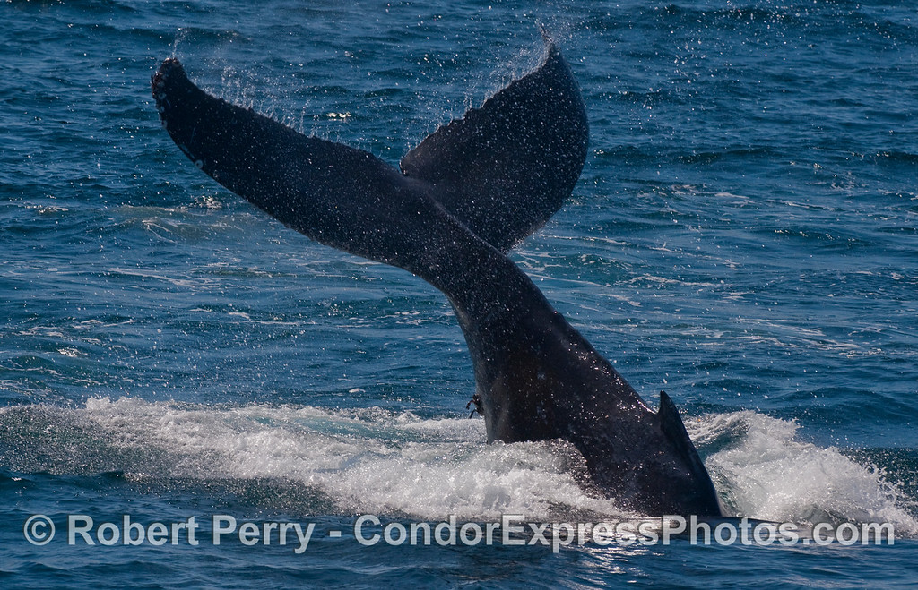 A dramatic Humpback tail lob.