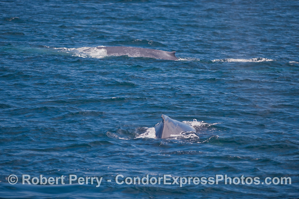 Humpback (foreground) and Blue Whale (background) together on the hot spot.