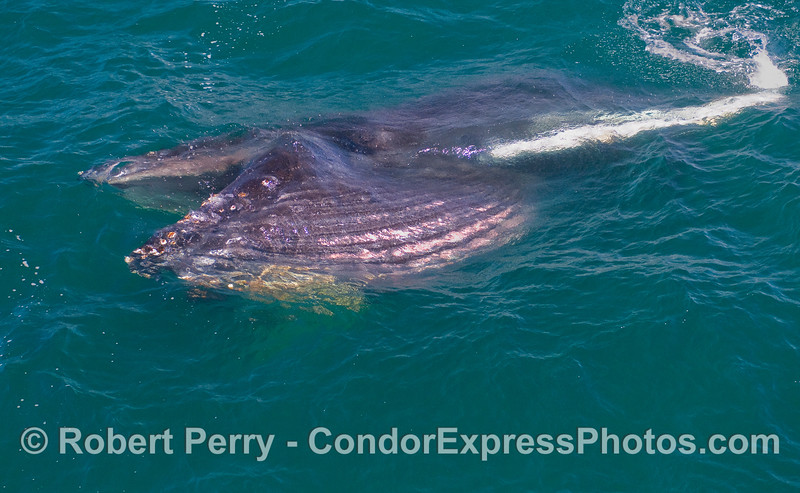 Image Sequence, 2 of 3:  A juvenile Humpback lunge feeds on its right side.  Mouth is agape, ventral gooves are expanded, and the bright white left pectoral fin can be seen glowing.