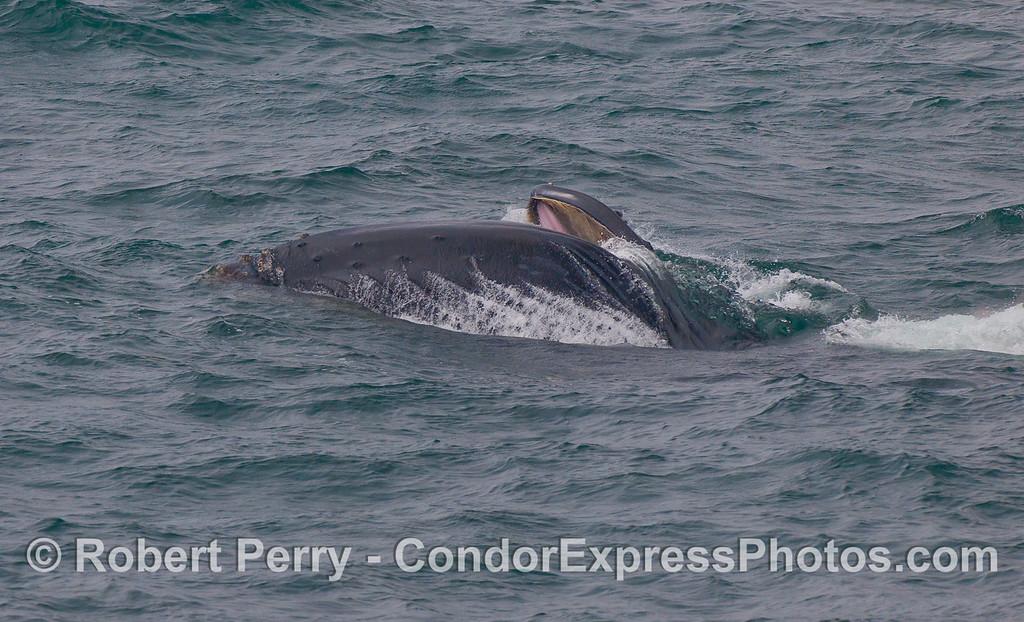 Lunge feeding Humpback Whale.